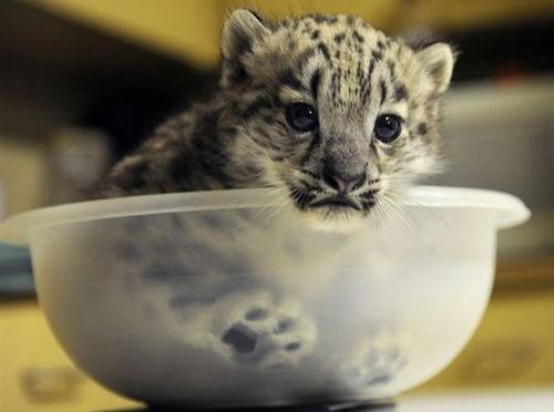 Bowl-of-Snow-Leopard