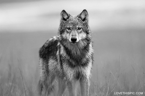 Lone wolf.