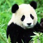 Pandaclap